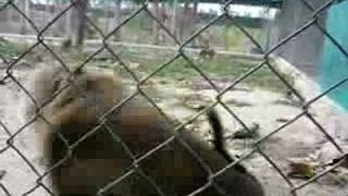 Alpha Male Macaque Thumbnail