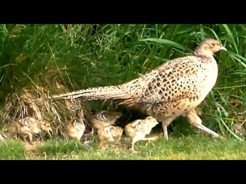 Aninimal Book: Seven newly hatched pheasant chicks in our garden - YouTube