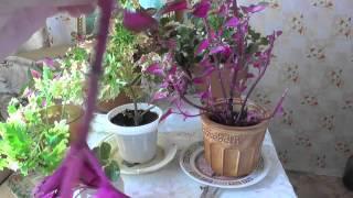451.Обрезка колеуса. Уход за домашними растениями. Амурка онлайн.