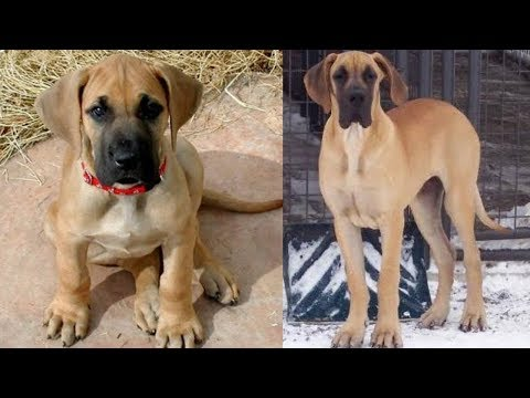 Great Dane, Boxer, French Bull Dog, Labrador Or Pitbull Puppies For Sale