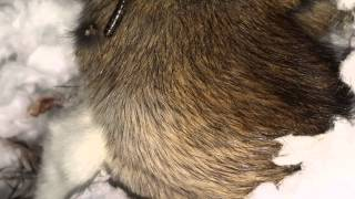 Rat Full Of Maggots