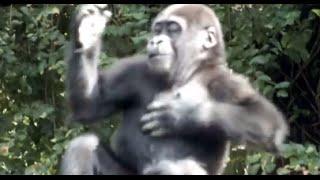 Baby Gorilla's drumming.ゴリラの赤ちゃんのドラミング。 Ueno Zoologi...