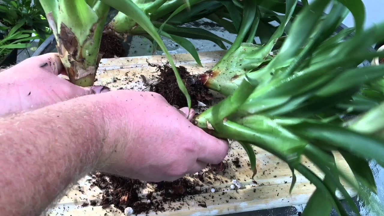 bromeliad care propagating methods by seeds and dividing pups youtube. Black Bedroom Furniture Sets. Home Design Ideas