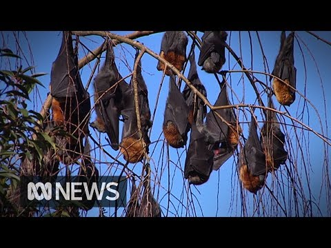 Bats fall from trees amid extreme heatwave in tropical Queensland | ABC News