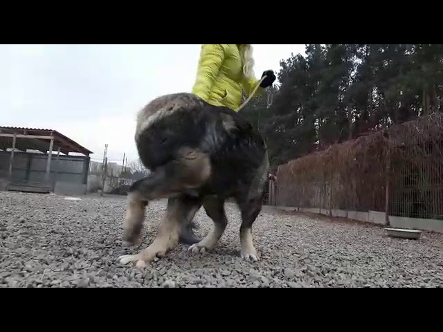 Male Dzhager 6.5 month for sale (video 2)