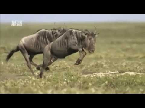 [BBC DOCUMENTARY] Crater Lions of Ngorongoro African Animals Wildlife Documentary Full Documentry
