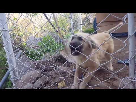 Bakarwal Dog Puppy | 5 Months old Bakarwal Dog | 5 months old Tibetan Mastiff | Gaddi Dog  puppy