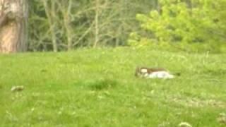 Stoat hunts rabbit.wmv