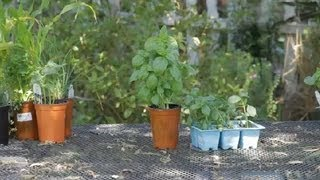 Sweet Basil Plant Information : Garden Space