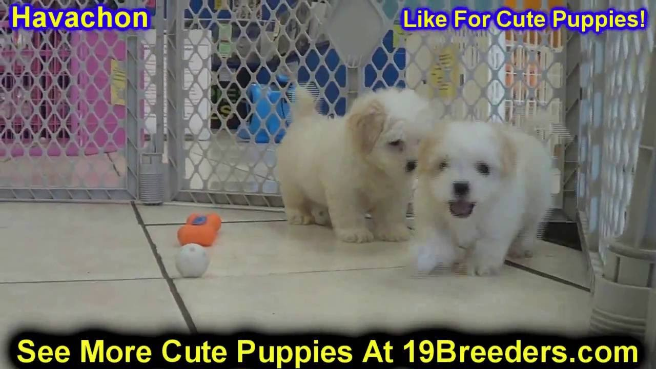 Havachon, Puppies, Dogs, For Sale, In Jacksonville ...