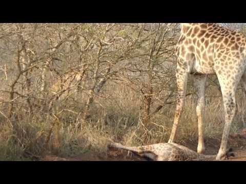 Thumbnail: giraffe mum screaming for defending her baby from a lioness