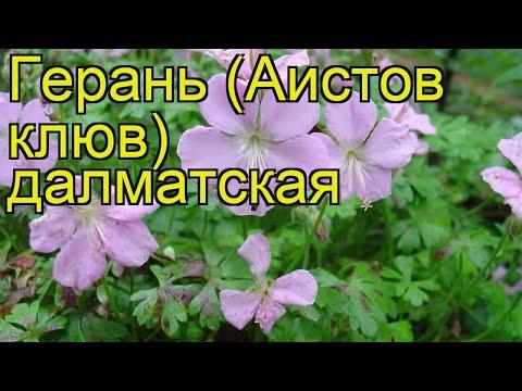 Герань далматская. Краткий обзор, описание характеристик, где купить саженцы geranium dalmaticum