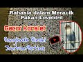 Rahasia Dalam Meracik Pakan Lovebird Dongkrak Birahi Jantan Betina Gacor Konslet  Mp3 - Mp4 Download