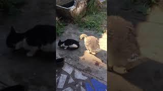 Маленький гусь отнимает рыбу у кошки-1часть