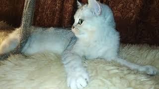 Британский кот шиншилла с зелёными глазамиns1133