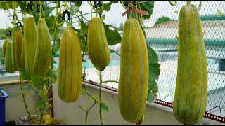 Tái chế thùng sơn trồng Dưa Gang mùa hè | Recycle the paint bucket to grow Honeydew Melon for summer