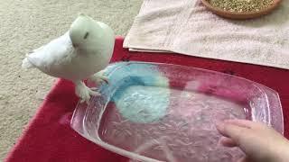 Pet pigeon gets soaked