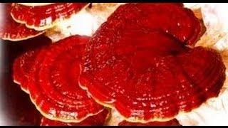 Что такое Ганодерма лусидум (Ganoderma Lucidum, Рейши, Линчжи)?