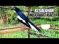 Umum Di Lakukan Kacermania Kesalahan Terbesar Merawat Burung Kacer Di Rumah  Mp3 - Mp4 Download