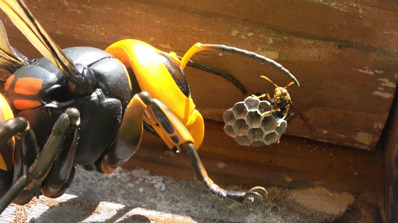 アシナガバチの巣にオオスズメバチを近づけた結果・・・