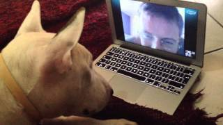 Bull Terrier Skype His Owner, Sweet