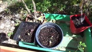 Франция/Мой сад-огород в Нормандии/Нужен ваш совет!Что за черешня такая?