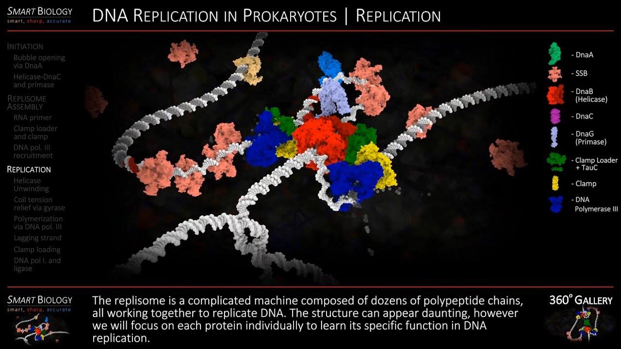 Dna Replication 3d DNA Replication Animat...