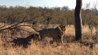 Lions on warthog kill - Video by Louise Murray