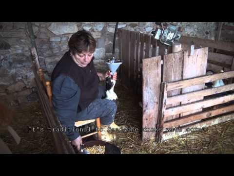 Farming for Foie Gras - Part 3
