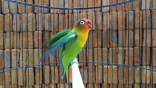 Suara burung Lovebird memanggil lawan di iringi ngekek,cocok memancing labet agar Ngekek