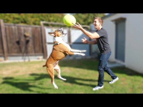 Rescue Boxer Dog Meets GIANT T...