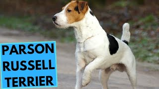 Parson Russell Terrier  TOP 10 Interesting Facts