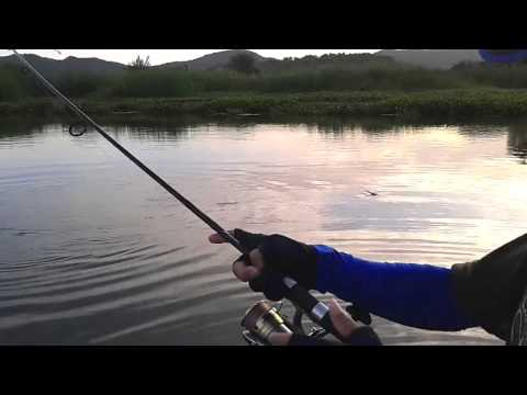 ตกปลาช่อนอยู่เห็นชะโดจิบ เลยลองตีดู