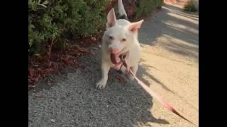 【遺伝子異常】このアルビノの保護犬は、血縁関係での無理な繁殖の繰り...