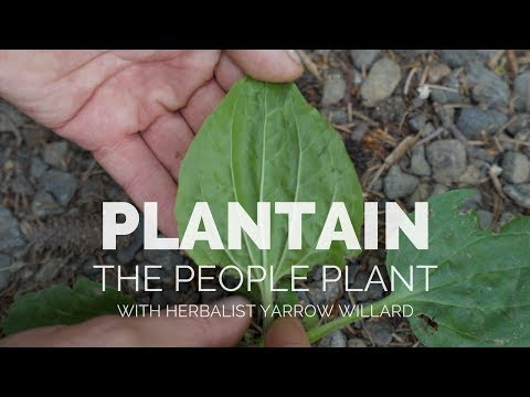 Plantain the People Plant | Herbal Jedi