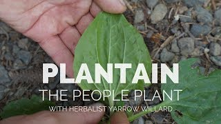 Plantain the People Plant | Herbal Jedi screenshot 5