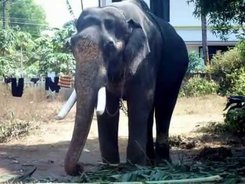 KONGAD KUTTISANKARAN / STAR ELEPHANTS /KERALA ELEPHANT ...