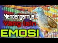 Suara Perkutut Bikin Lawan Emosi  Mp3 - Mp4 Download
