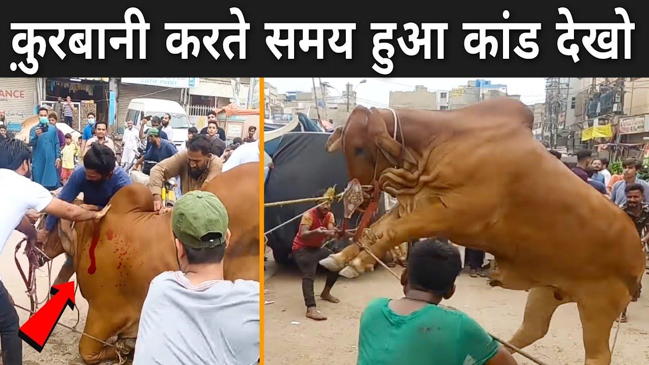 क़ुरबानी करते समय हुआ कांड देखो | Attacks Of Animals On Eid al-Adha
