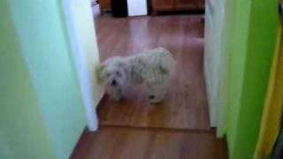 Mój pies Xzibit szczeka do lustra
