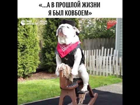 Бульдог-ковбой