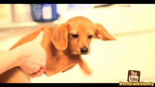 """Funny Chihuahua Dachshund Puppy """"bath Time Shawty"""""""