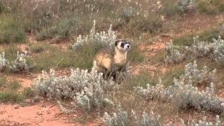 Black-footed Ferrets Released on Espee Ranch
