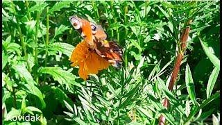 Красивые бабочки Адмирал и Павлин