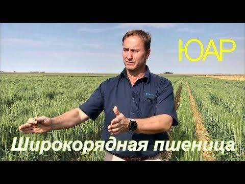 Широкорядная пшеница в Южной Африке