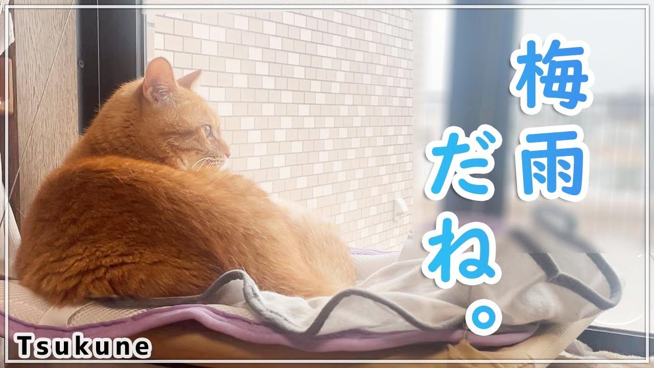 雨をぼんやり眺めている茶トラ猫【今つく#2】