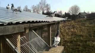 Gołębie Pocztowe, Początki Motywacji Rocznych Gołębi