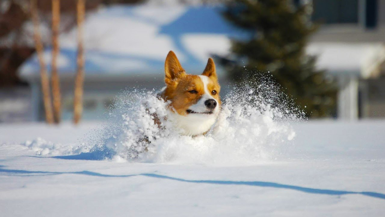 Corgis Playing in Snow