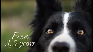 Border Collie Frea | 3,5 years