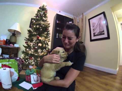Thumbnail: Surprised my wife with a golden retriever puppy for Christmas